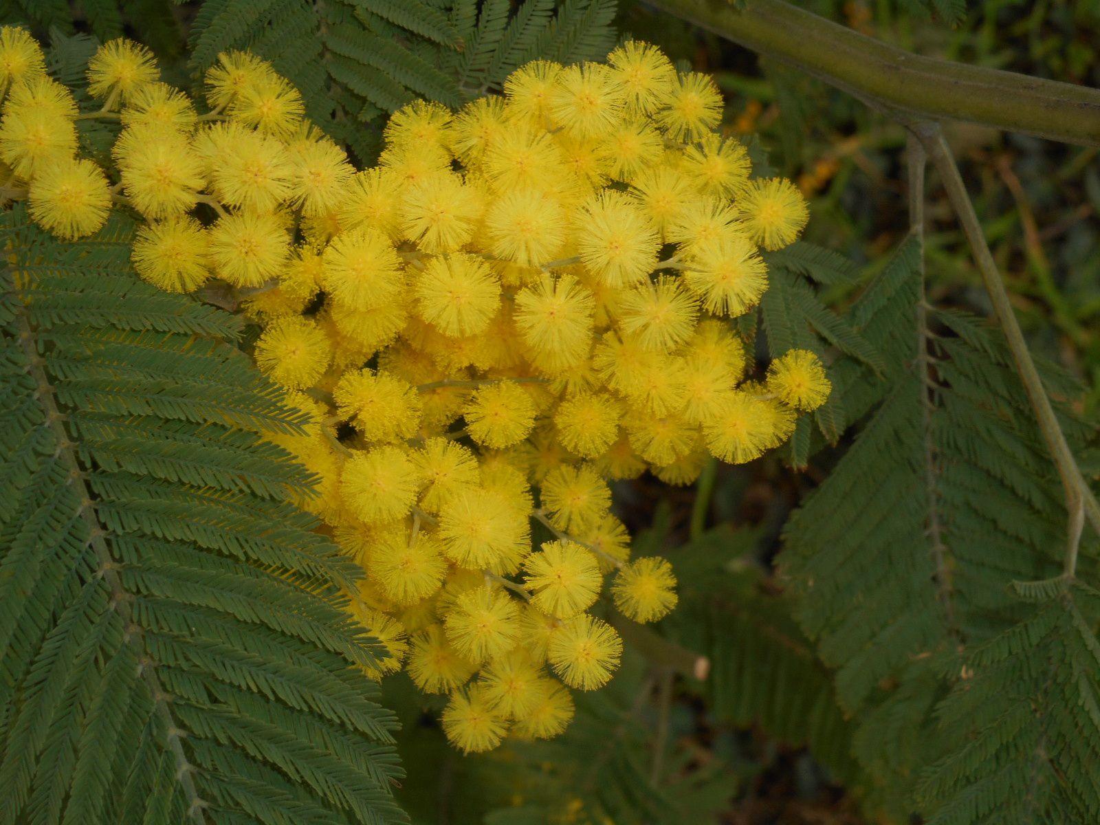 mimosa à Villenave