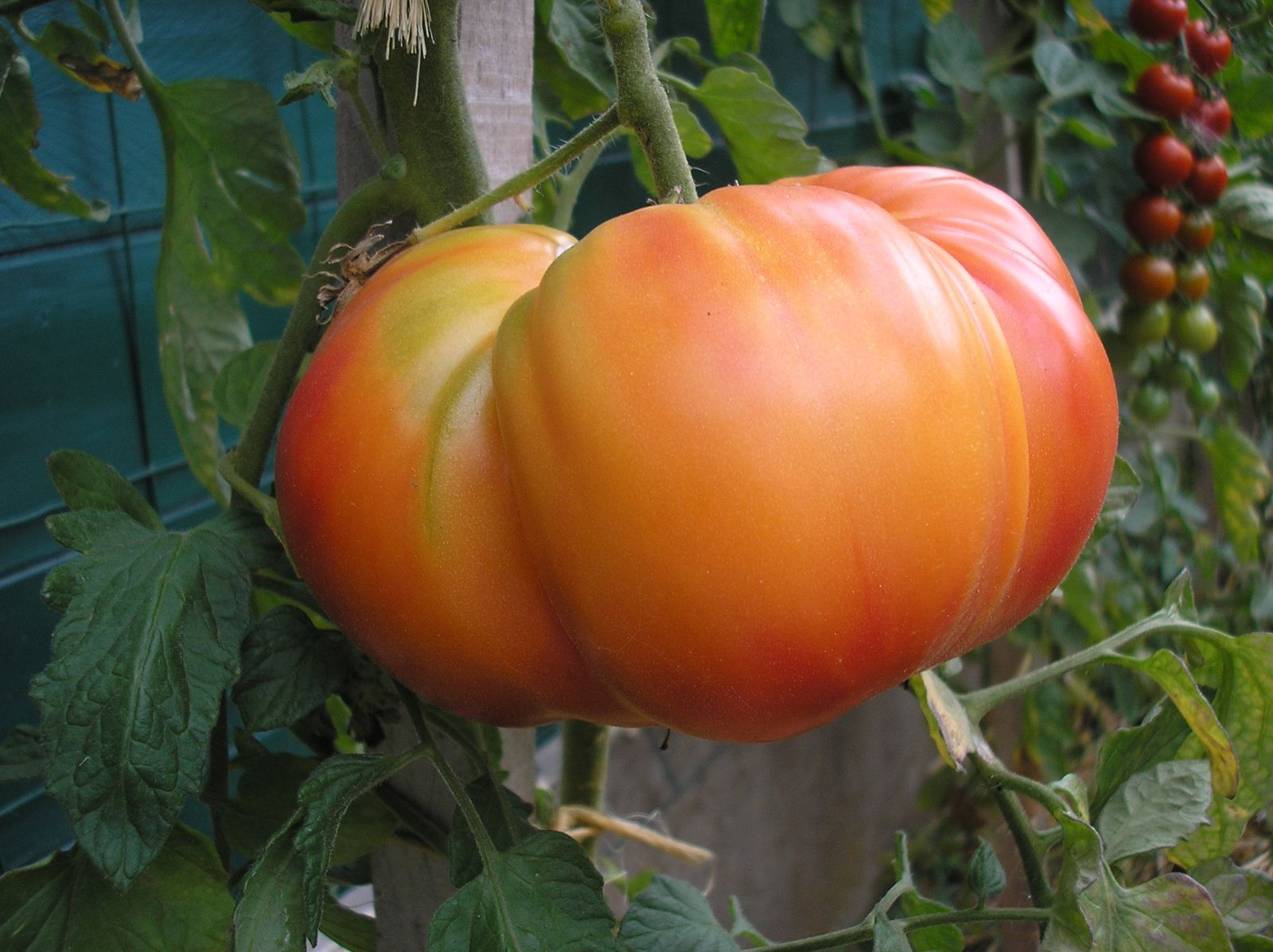 Tomate &quot&#x3B;nature's riddle&quot&#x3B;