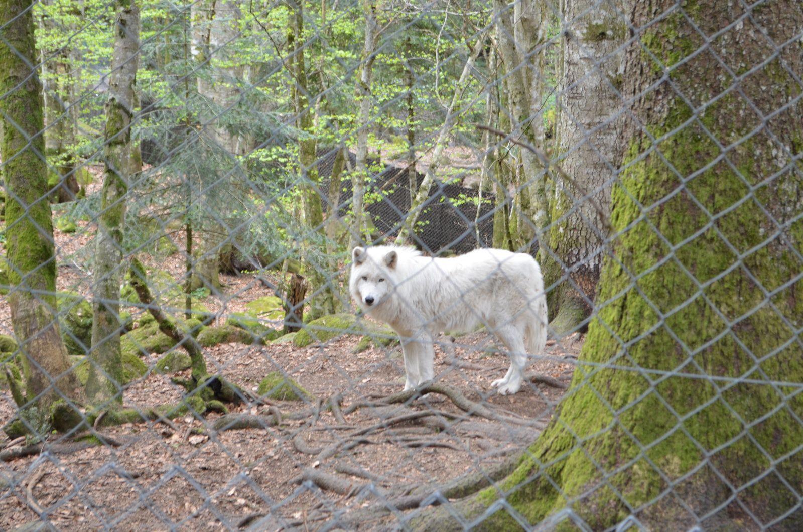 Un loup blanc - Vallée d'Orlu.