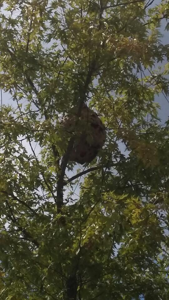 Présentation d'un nid de frelons asiatiques