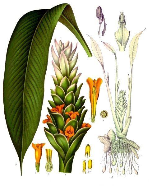 «Curcuma longa - Köhler–s Medizinal-Pflanzen-199» par Franz Eugen Köhler, Köhler's Medizinal-Pflanzen — List of Koehler Images. Sous licence Public domain via Wikimedia Commons.