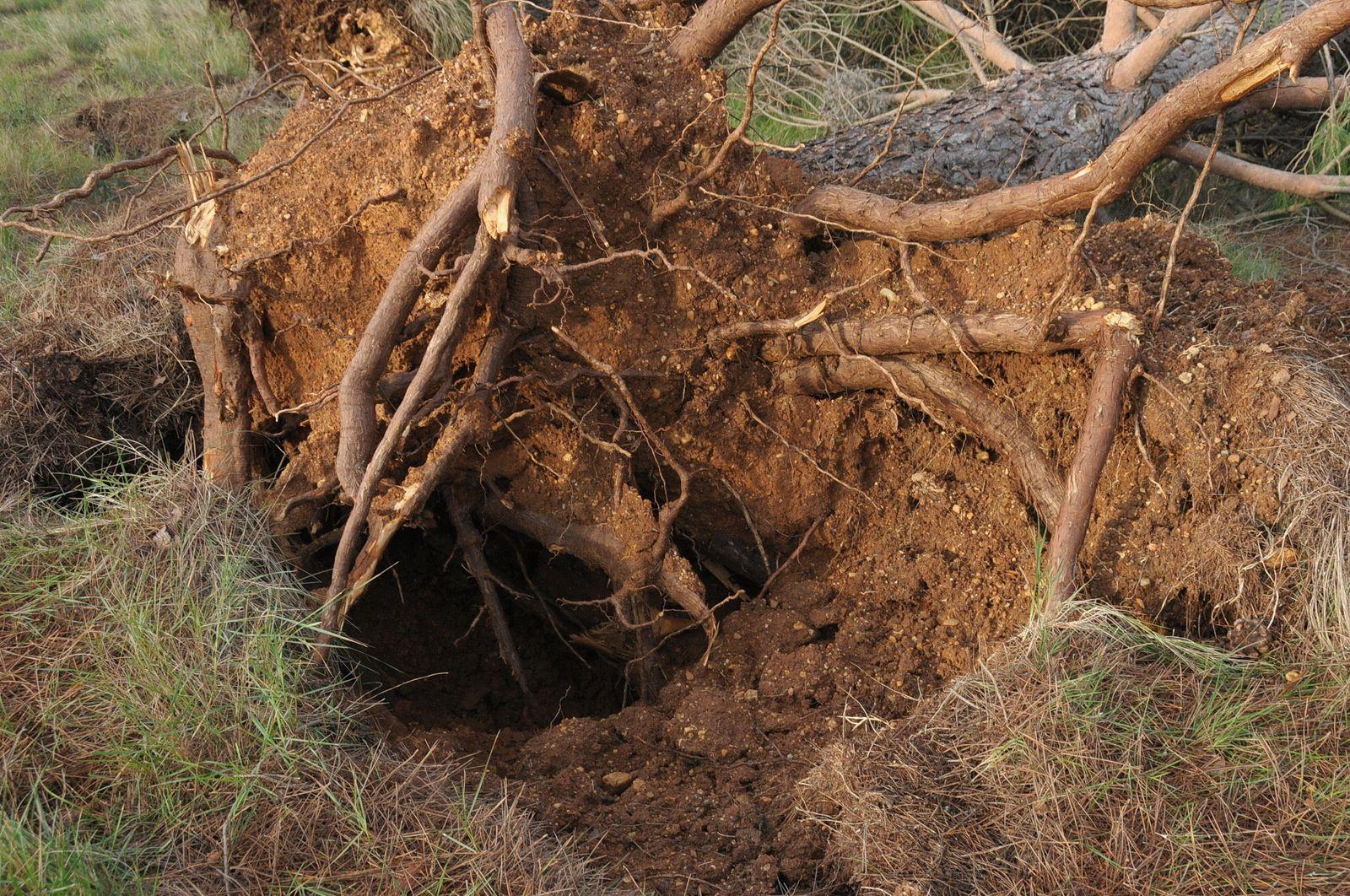 Nombreux arbres déracinés