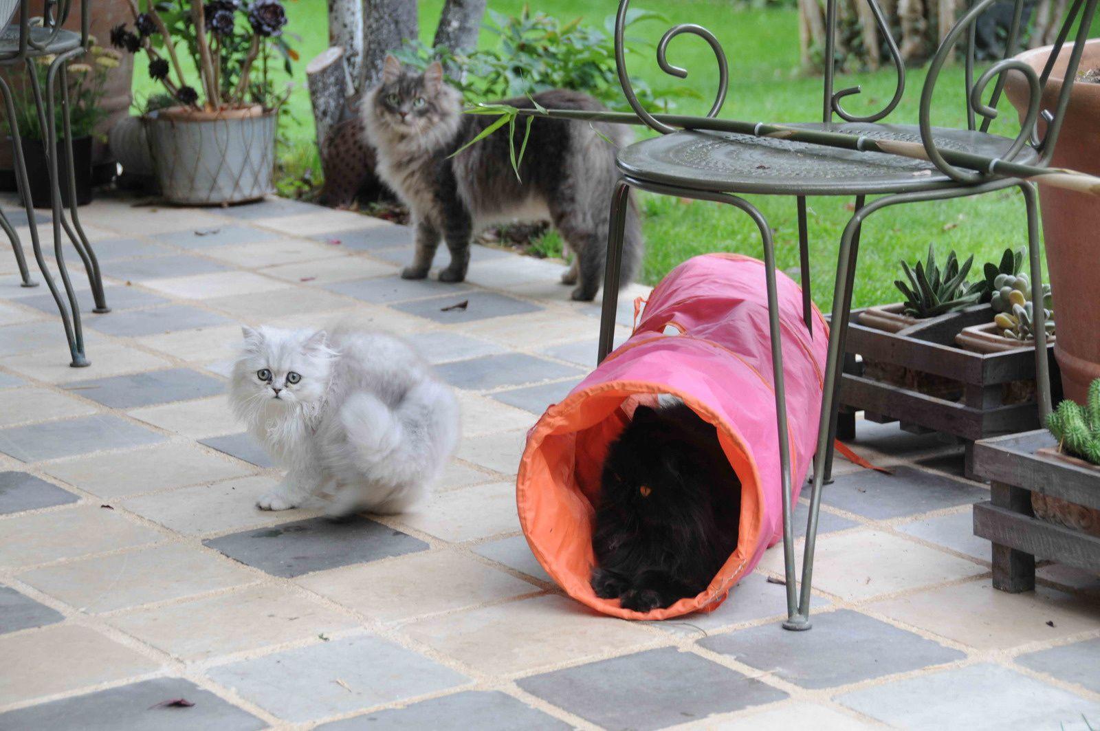 Diva, la noire dans son tunnel, Freddy, le gris, petit chat sauvage du midi, soigné, sauvé et qui s'est bien adapté à sa nouvelle vie et le petit dernier : Johnny H