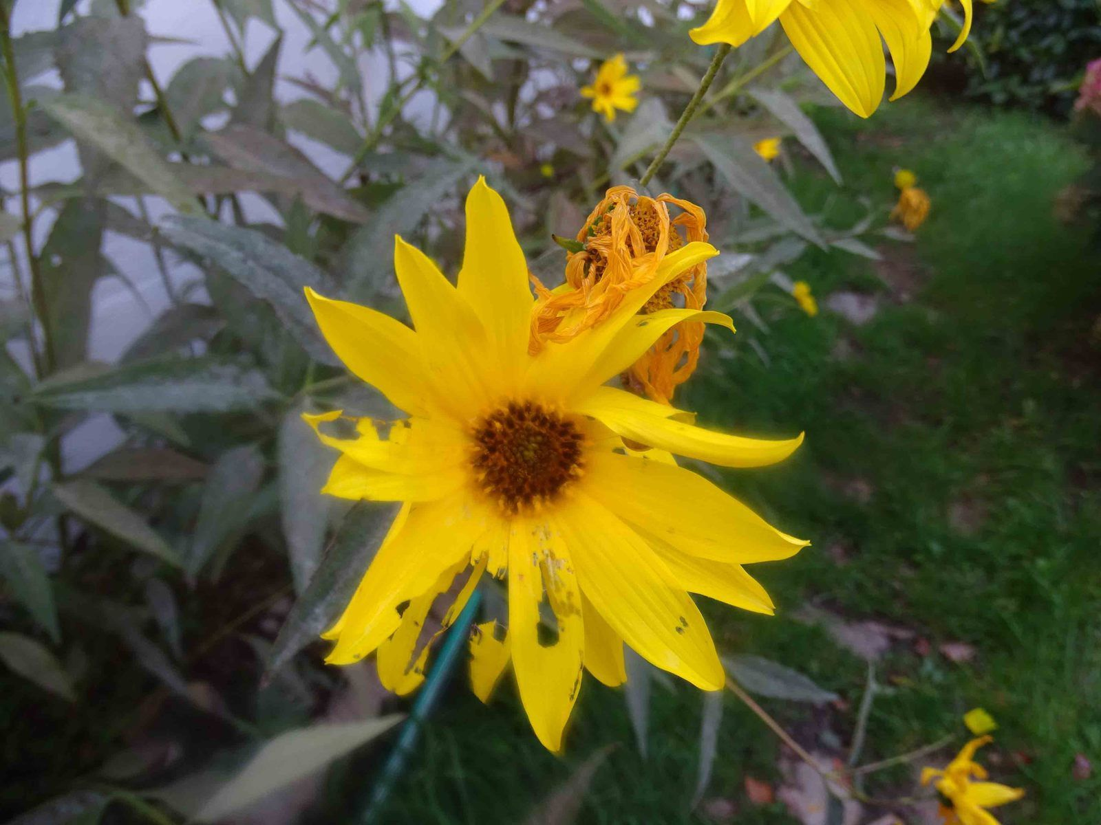 La fleur du Lundi