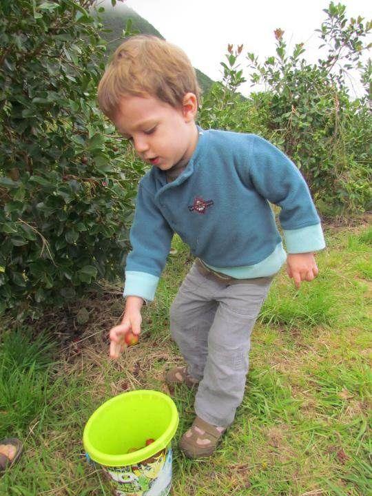 Dans l'après-midi, nous proposons aux enfants une cueillette des goyaviers dans un verger privé moyennant 6 € le seau de goyaviers.