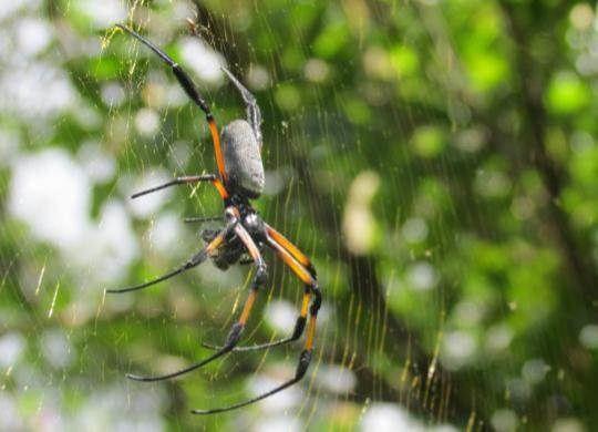 Les bibes (grosses araignées se trouvent aussi bien à 500 m qu'à 1500 m d'altitude.
