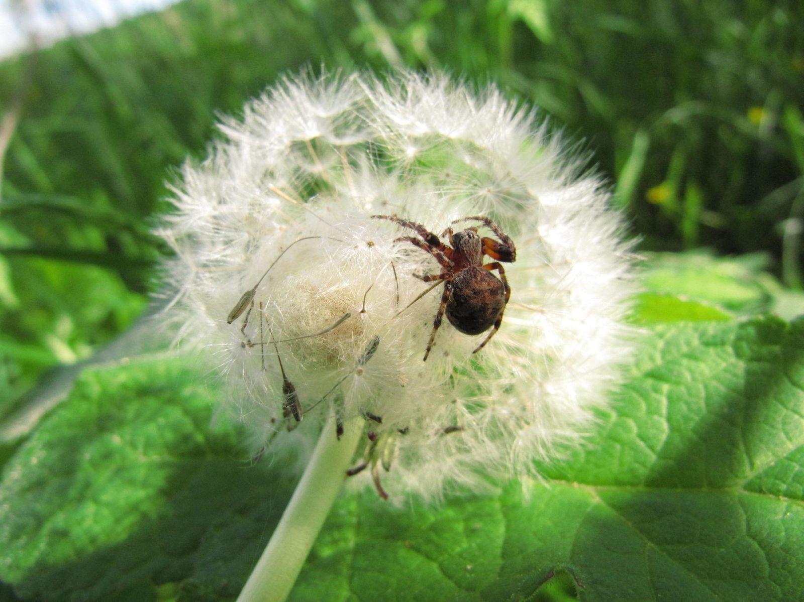 Pas de nom français pour cette Aranaeidae .. Je l'ai trouvée sur les akènes de cette fleur de pissenlit, où on peut voir sa pouponnière - c'est la boule de soie sur sa gauche.