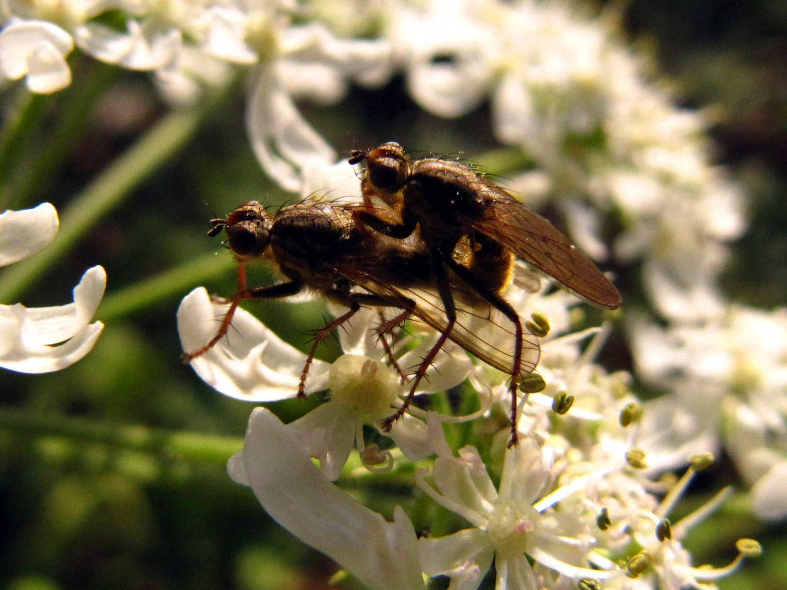 """2 décembre 15H45 sous un soleil pâlichon..  Ce couple de diptères, sans doute des Scatophaga stercoria, si je ne trompe pas, couramment appelée """"mouche à merde"""", s'offrent un dernier ( ? ) plaisir, comme pour conjurer l'arrivée de l'hiver ..."""