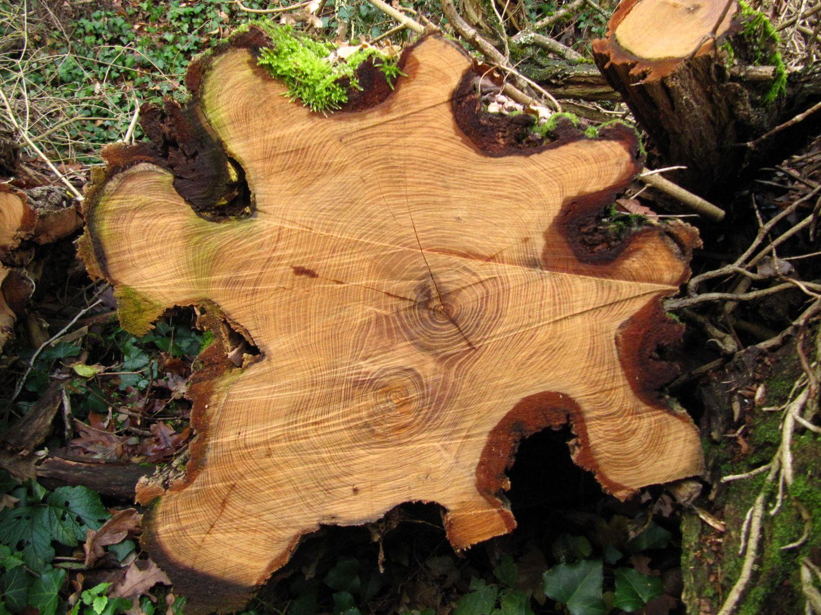 Sur ce tronçon, on peut même voir deux coeurs d'arbre accolés.