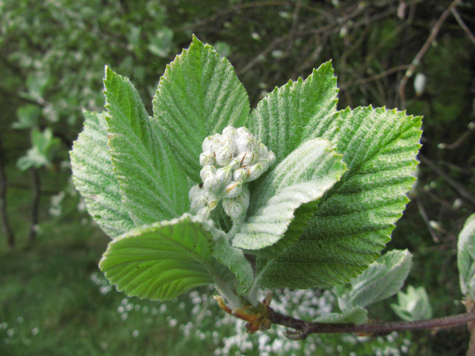 Alisier blanc (Sorbus aria) et alisier torminal (Sorbus torminalis)