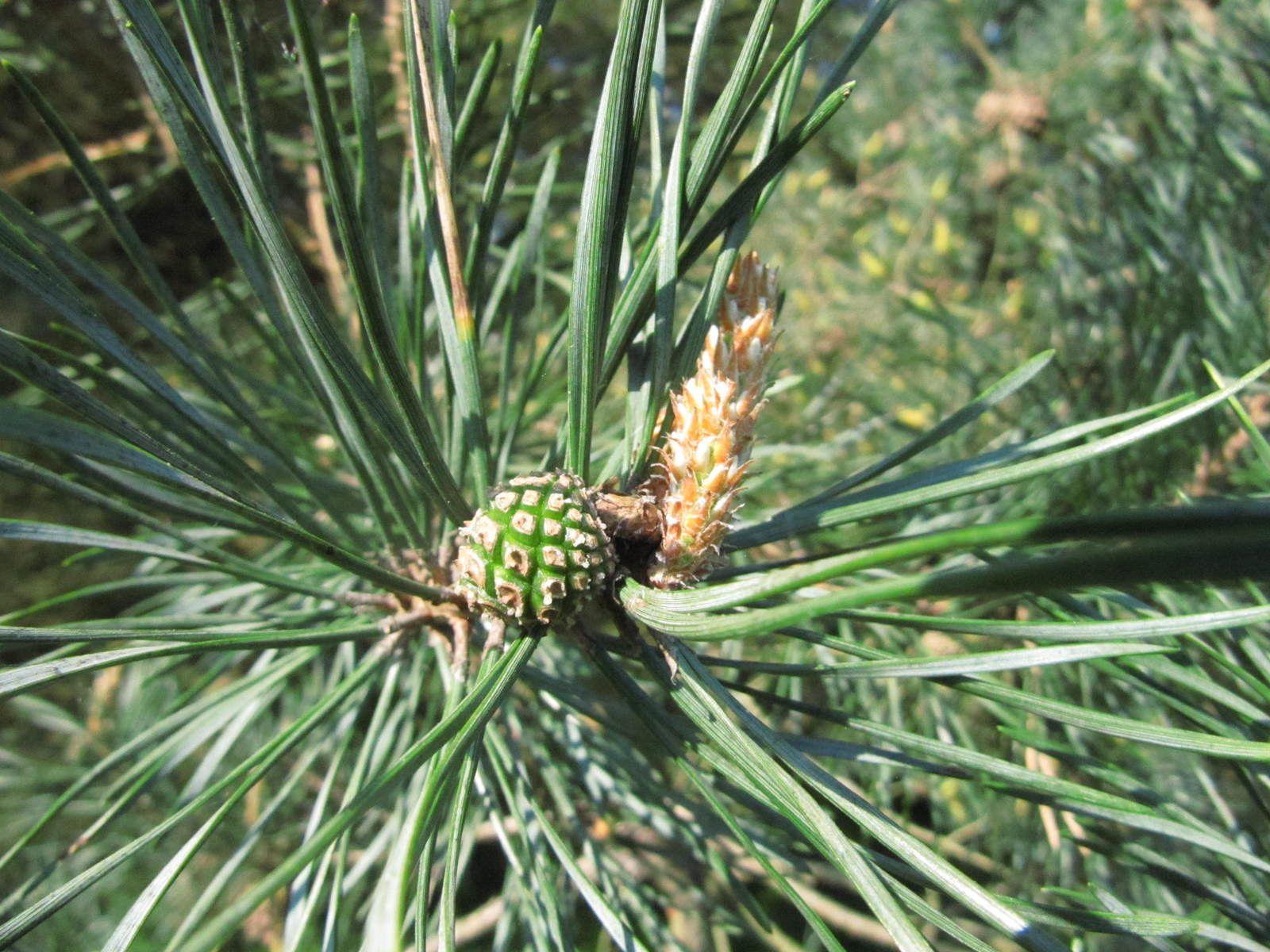 Inflorescence femelle. Dans un an, elle sera au même stade de développement que le petit cône au premier plan.