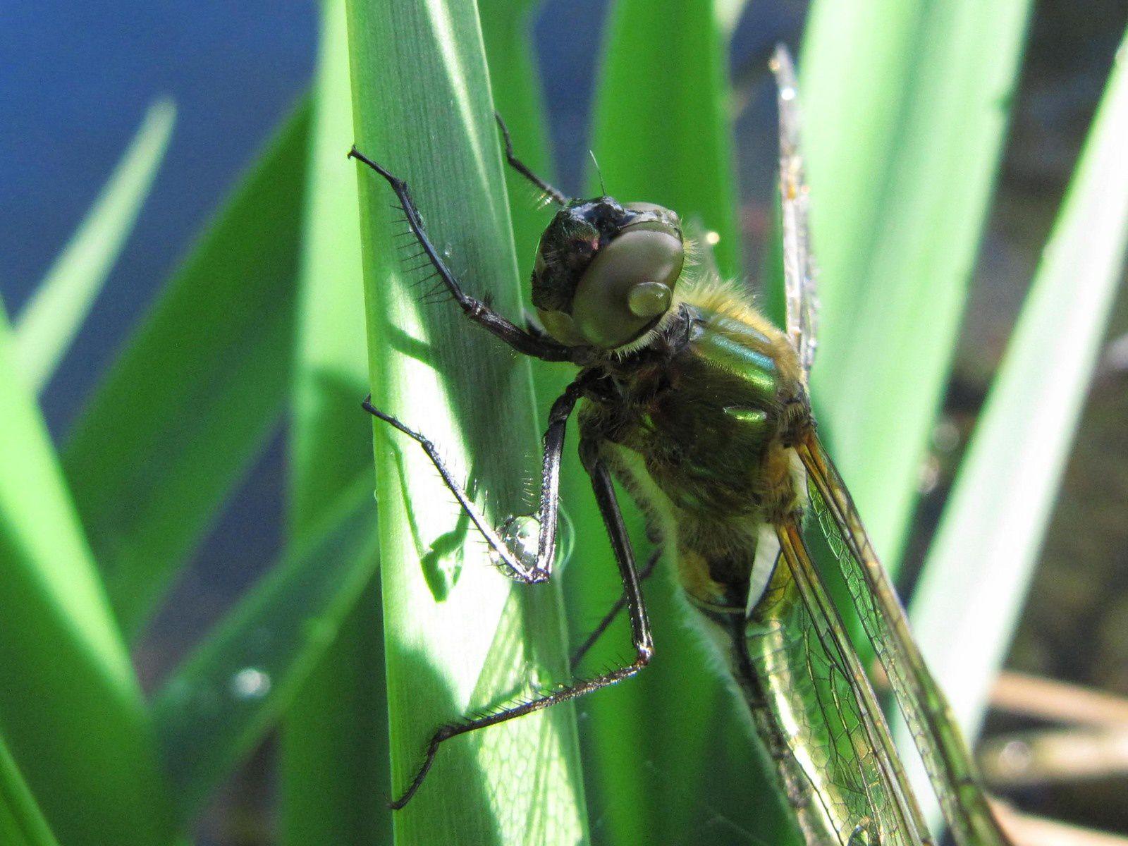 Les ailes encore quelque peu fripées, elle ne cherche pas à s'envoler devant mon objectif, elle a tant de choses à découvrir!
