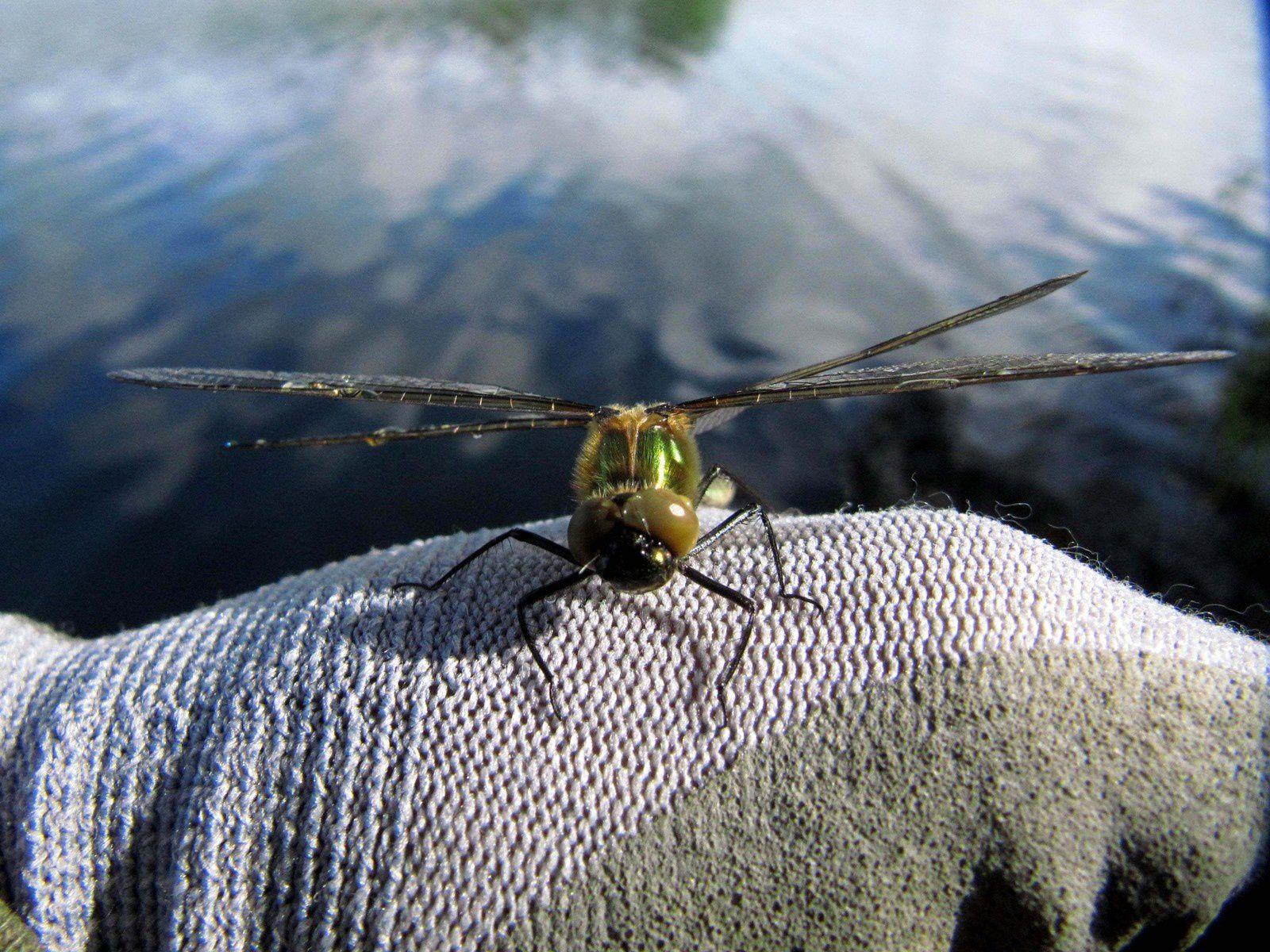 Le premier vol de la libellule ( Cordulie bronzéee, Cordulia aenea )