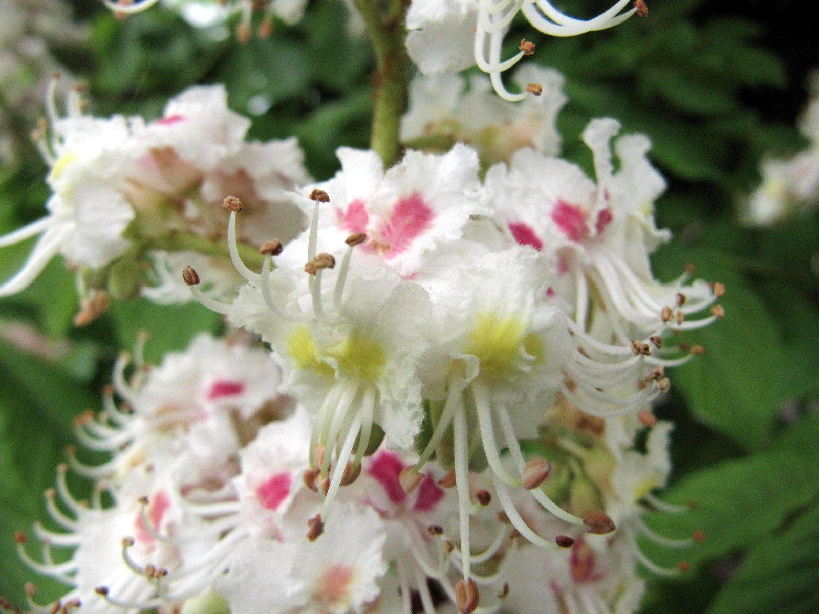 Le marronnier d'Inde en fleurs (Aesculus hippocastanum)