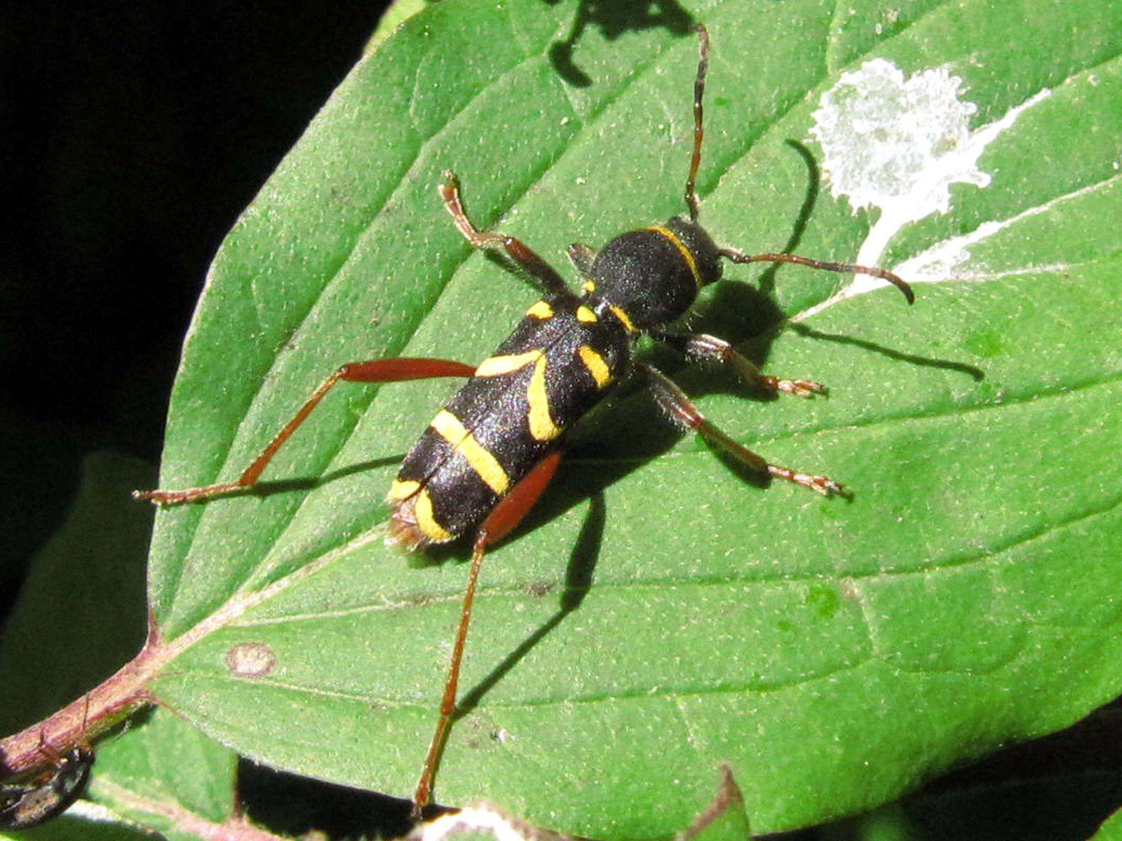 Clyte bélier (Clytus arietis)