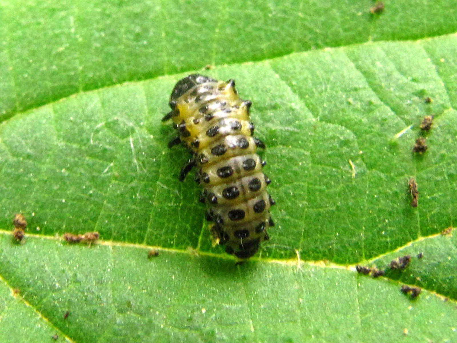 Nymphose, par gravité, d'une coccinelle indéterminée, je pense qu'il s'agit de la même variété que la larve trouvée à proximité.