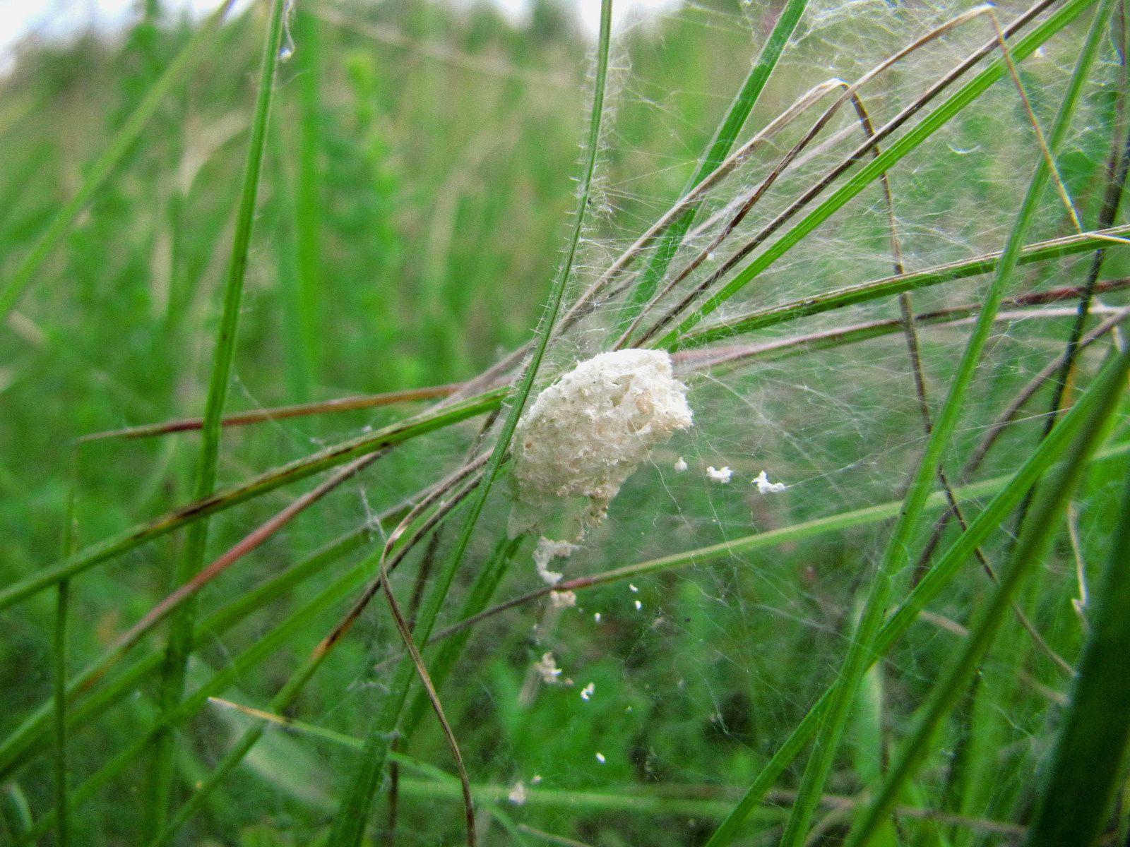 Mangore petite bouteille et son nid ( Mangora acalypha), nid de pisaure admirable (Pisaura mirabilis)