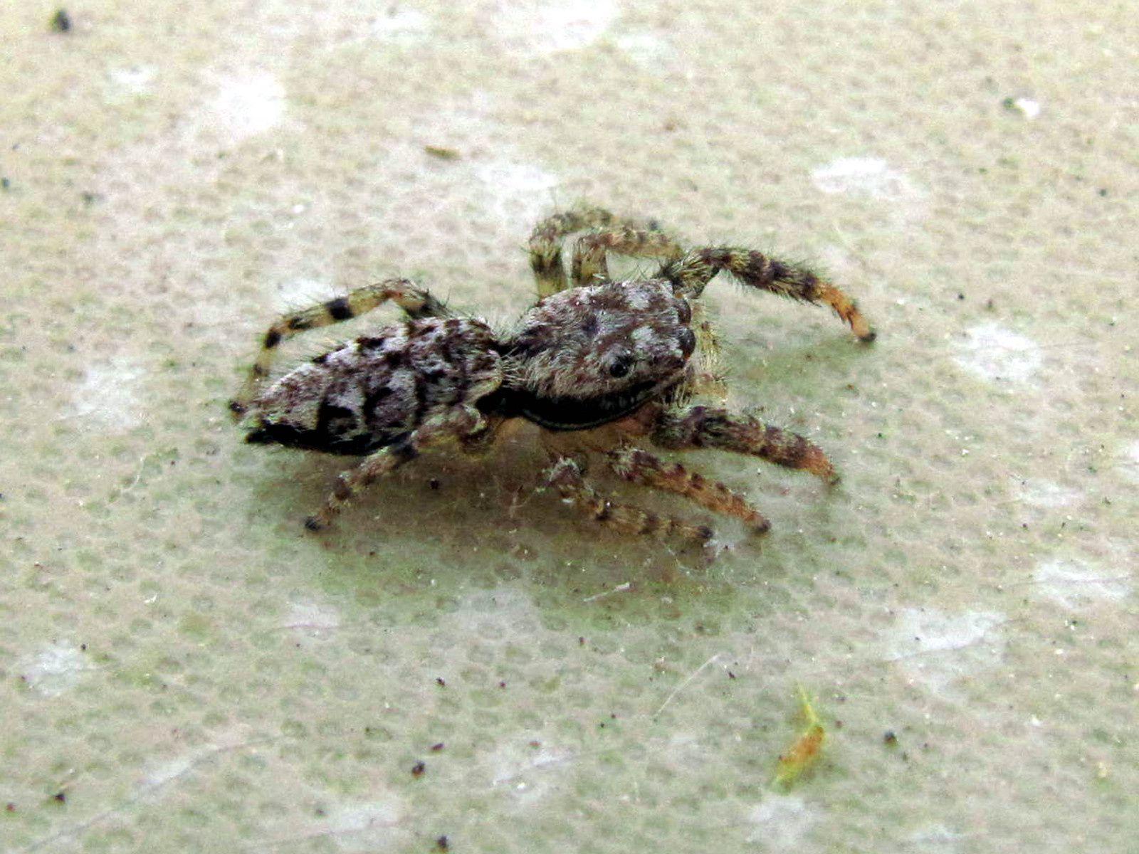 Araignée sauteuse ( Marpissa muscosa)