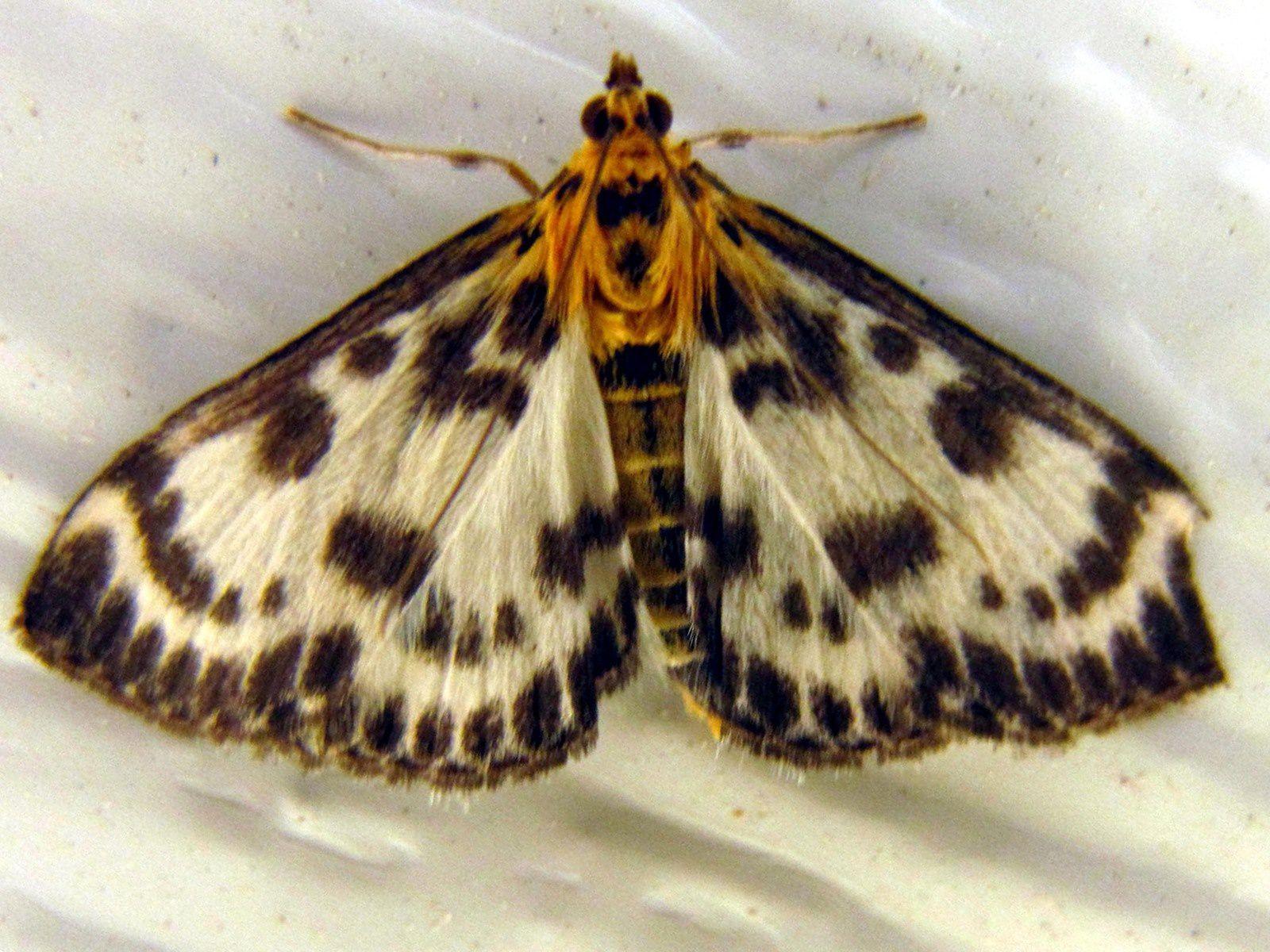 Pyrale de l'ortie (Eurrhypara hortulata)  papillon de nuit de la famille des Crambidae.