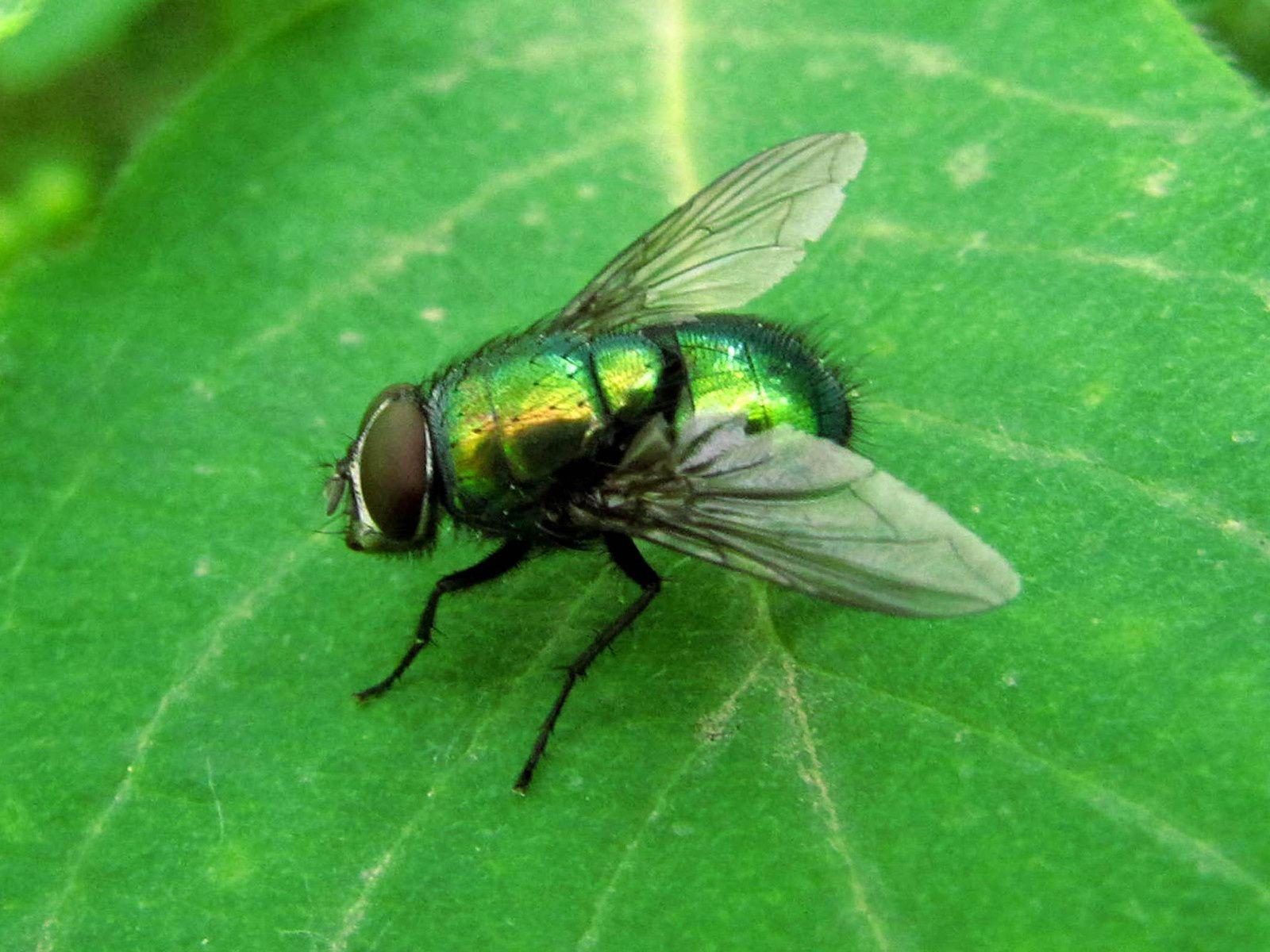 Trois mouches: Mouche à damier (Sarcophaga carnaria), Tachinaire sauvage (Tachina fera) et Lucilie verte (Lucilia sp)
