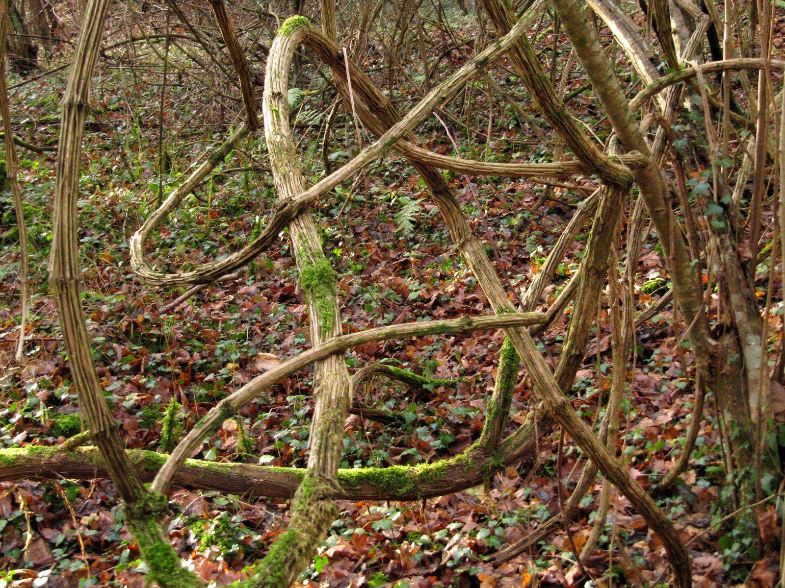 Clématite vigne-blanche, l'étouffeuse d'arbres ( Clematis vitalba)