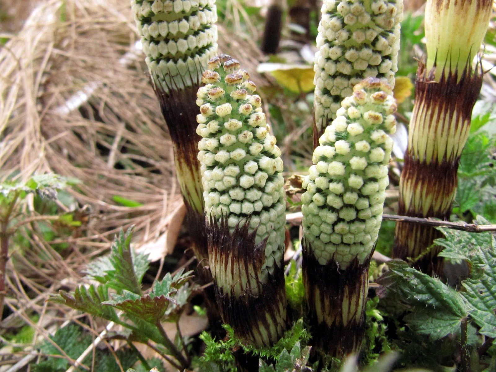 Grande Prêle ( Equisetum maximum ), les tiges fertiles.