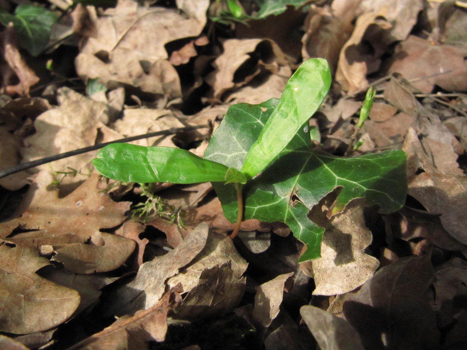 Érable plane (Acer platanoides) bourgeons floraux, plantules et écorce