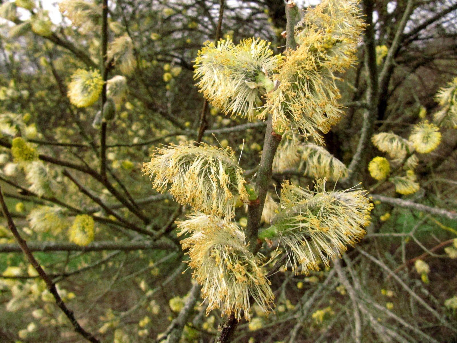Saule marsault ou Saule des chèvres (Salix caprea)