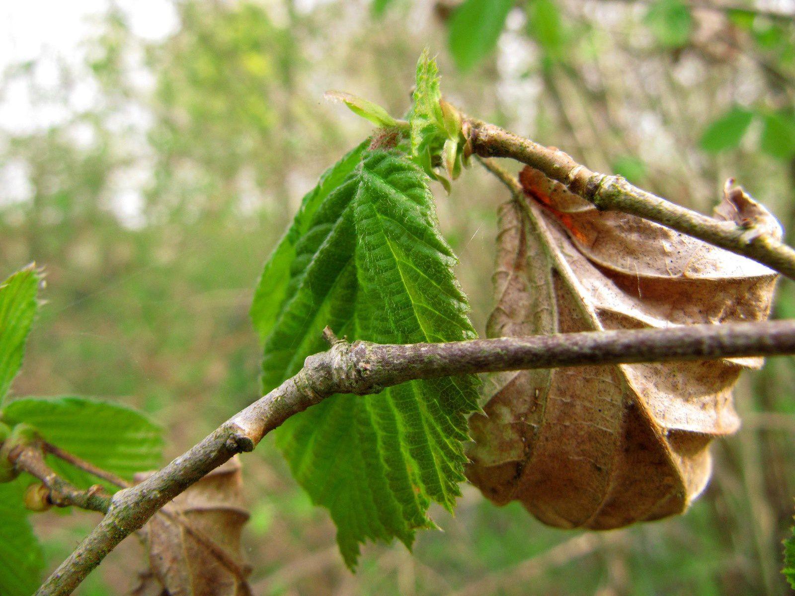 Feuilles de noisetier (Corylus avellana)