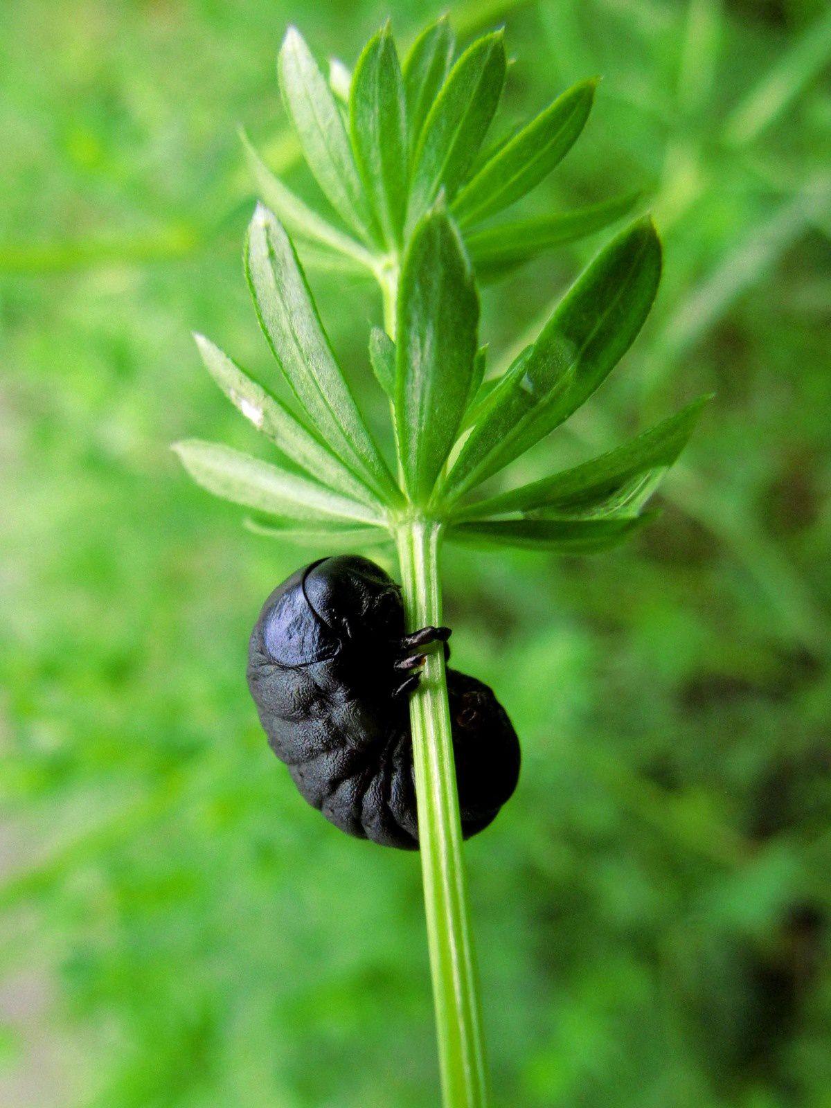Timarche ténébreuse ou Crache-sang, imago et larve (Timarcha tenebricosa)