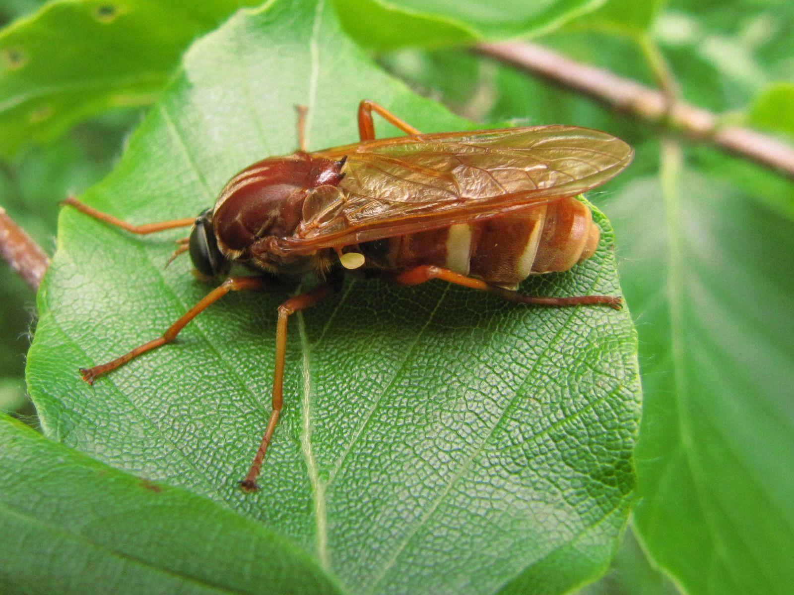 La Coénomyie ferrugineuse (Coenomyia ferruginea)