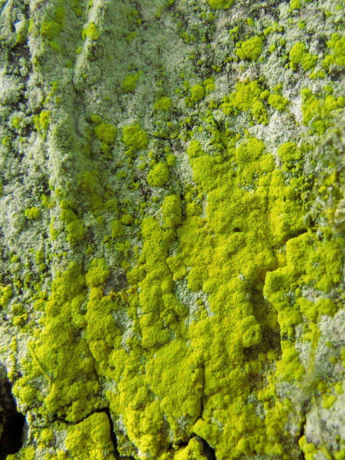 Lichen sur écorce de platane: Candelaria concolor