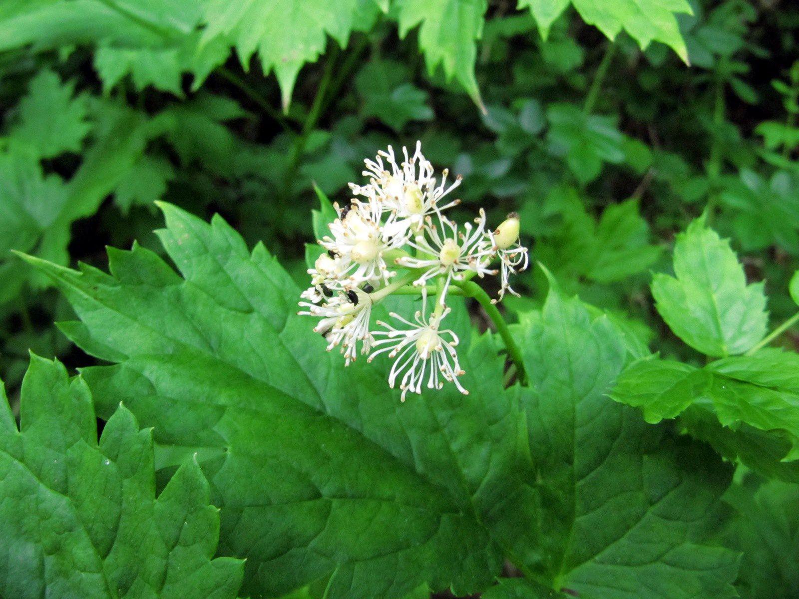 Actée en épi (Actaea spicata)