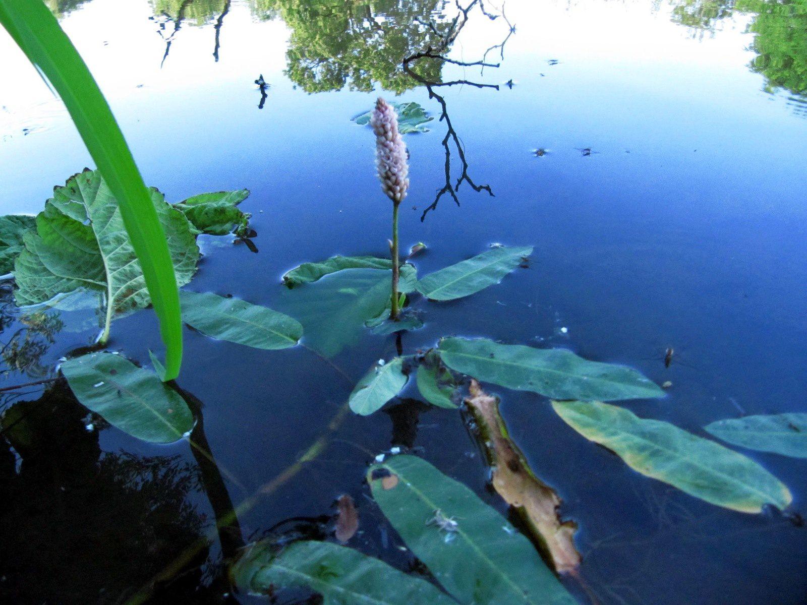 Renouée amphibie ou Persicaire amphibie (Persicaria amphibia) - La nature en  Lorraine au fil des saisons