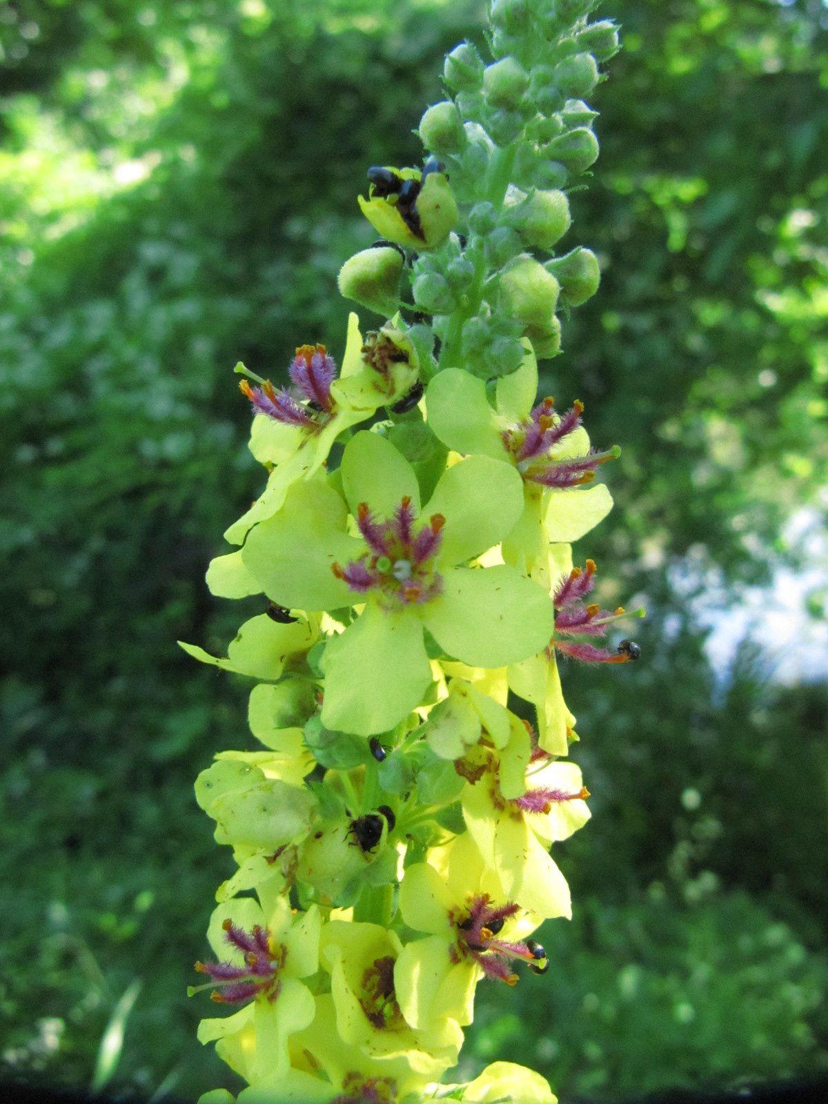 Bouillon-blanc (Verbascum thapsus) et Molène noire (Verbascum nigrum)