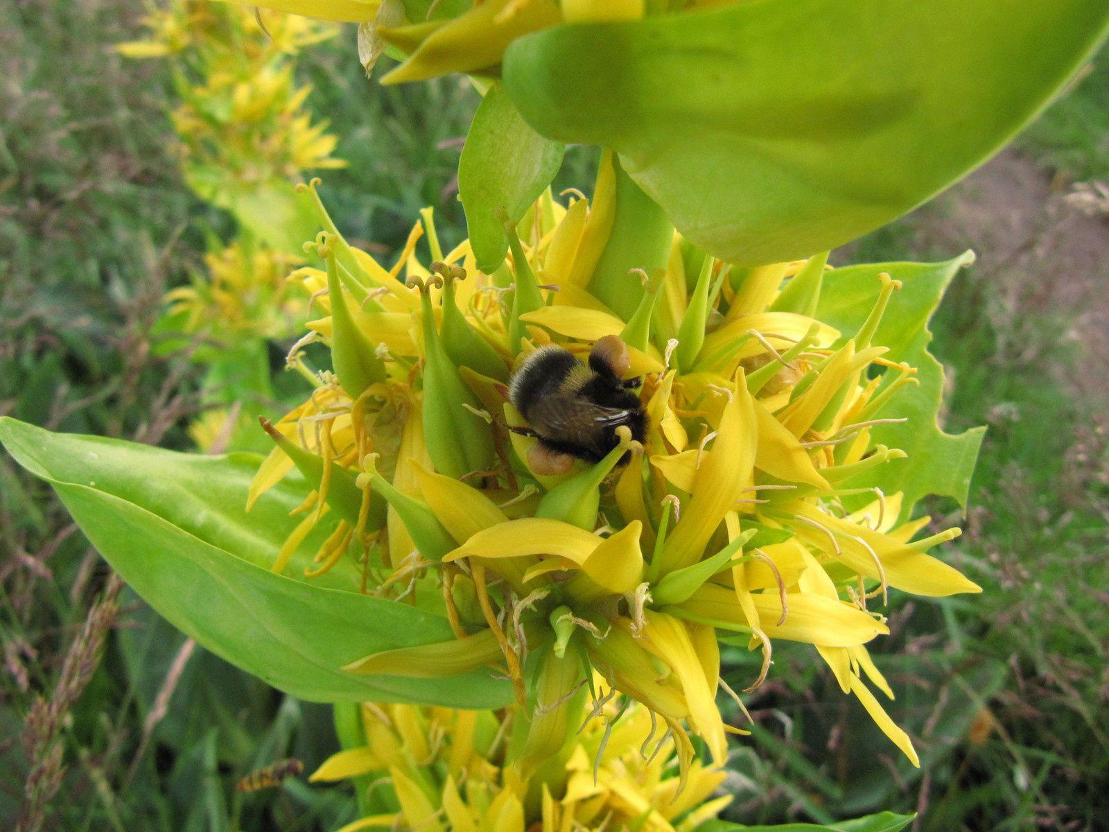 Gentiane jaune (Gentiana lutea) sur les hautes chaumes vosgiennes