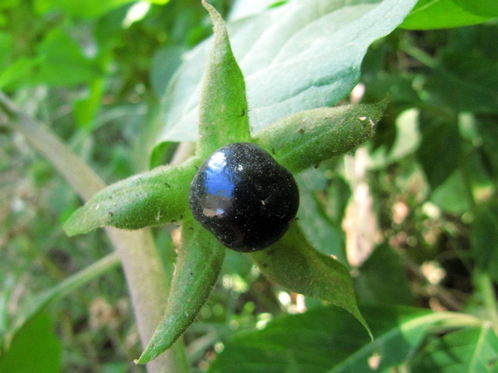 Belladone, la belle dame vénéneuse (Atropa belladonna)