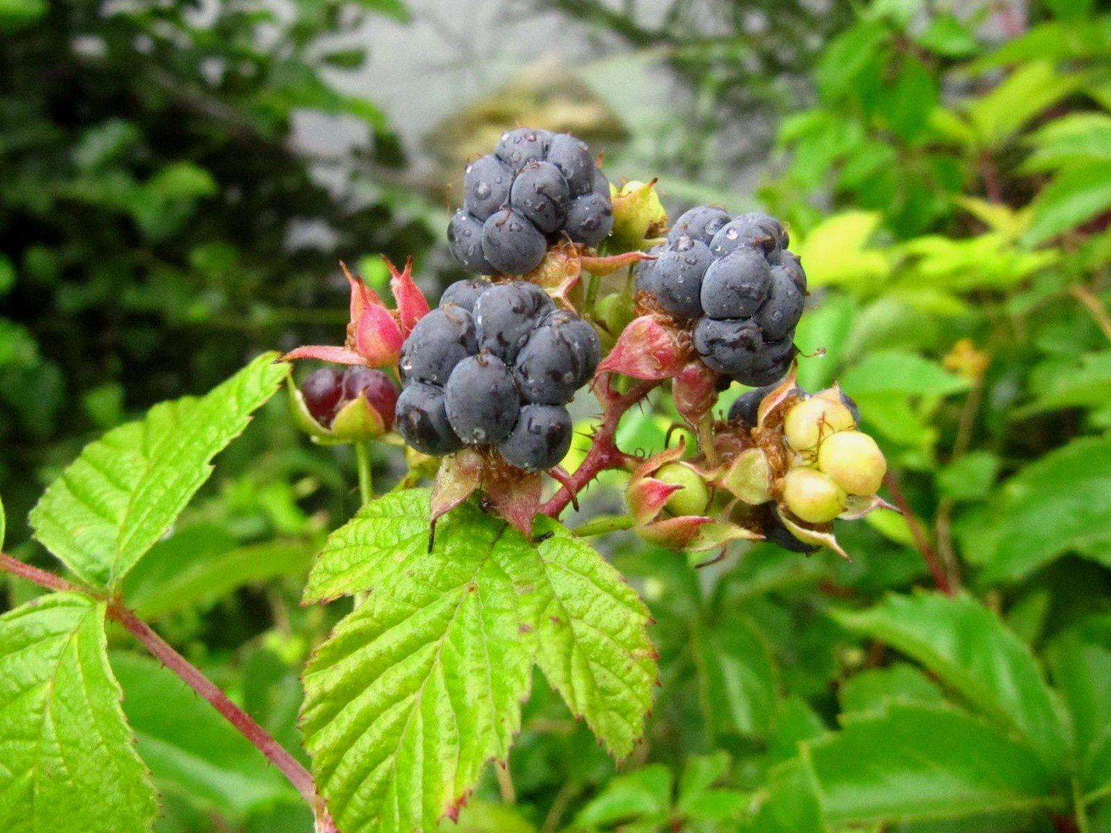 Ronce bleue (Rubus caesius)