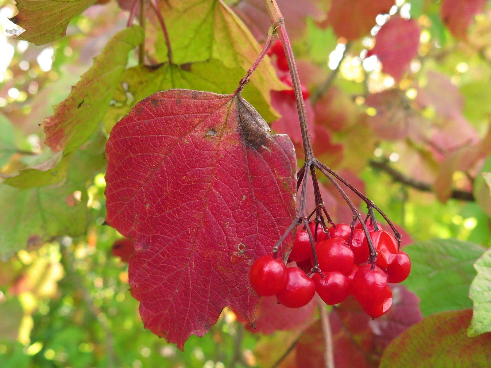Viorne obier (Viburnum opulus) en automne