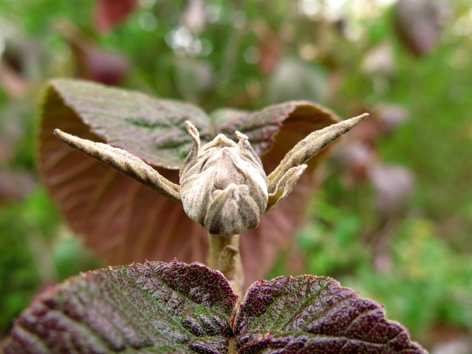 Viorne lantane en automne ( Viburnum lantana )