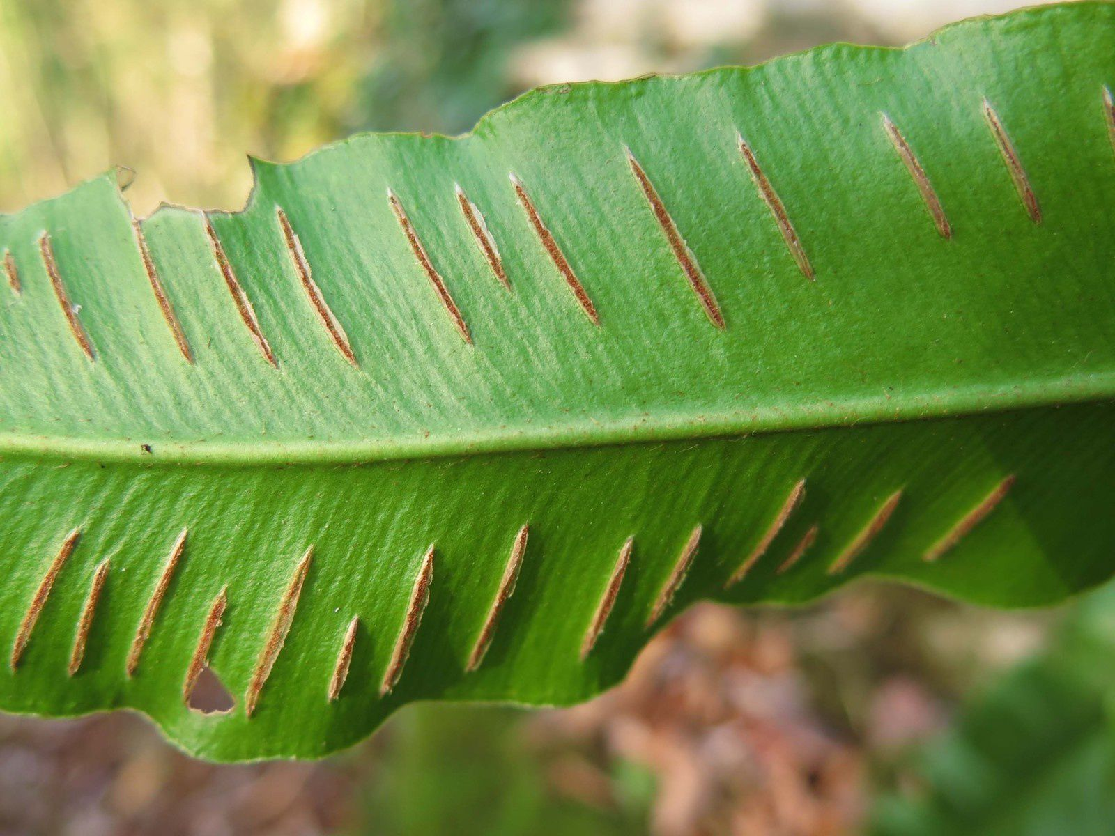Scolopendre ou Asplenium scolopendrium