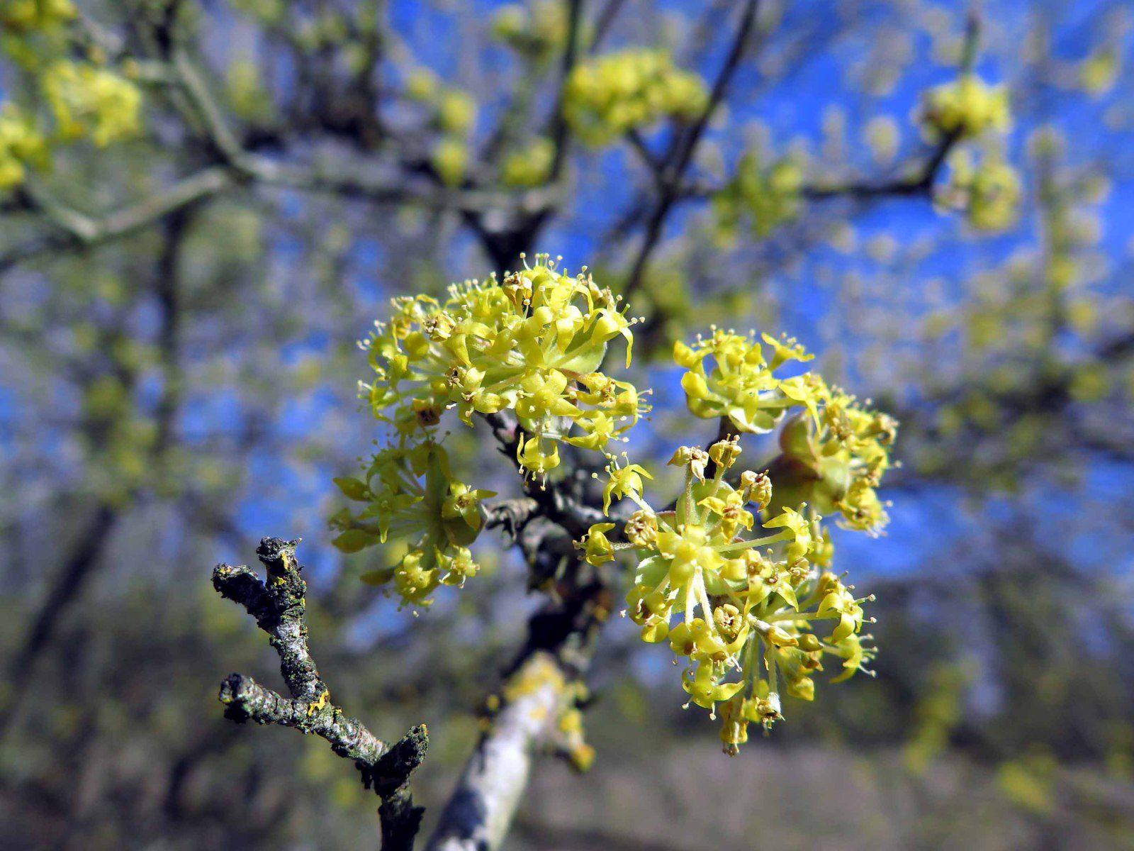 Cornouiller mâle (Cornus mas) en fleur