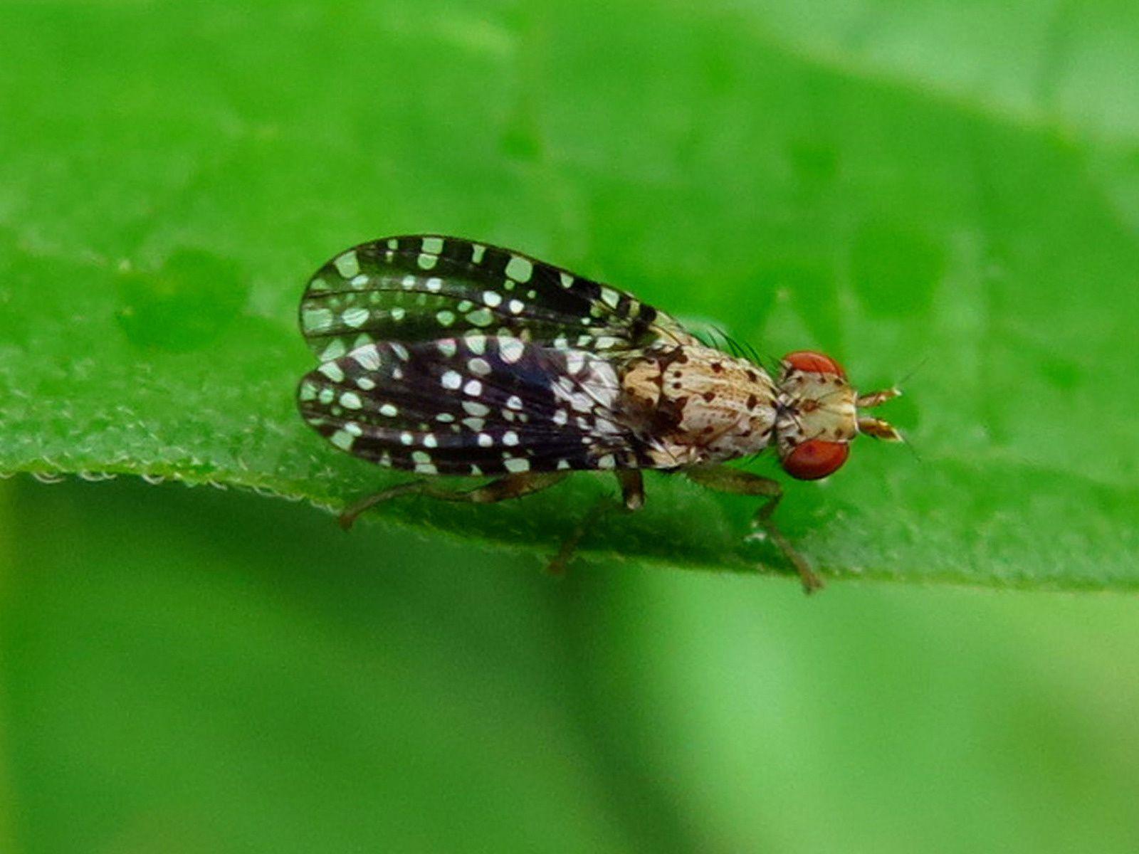 Microlépidoptères,mini mouches et collemboles