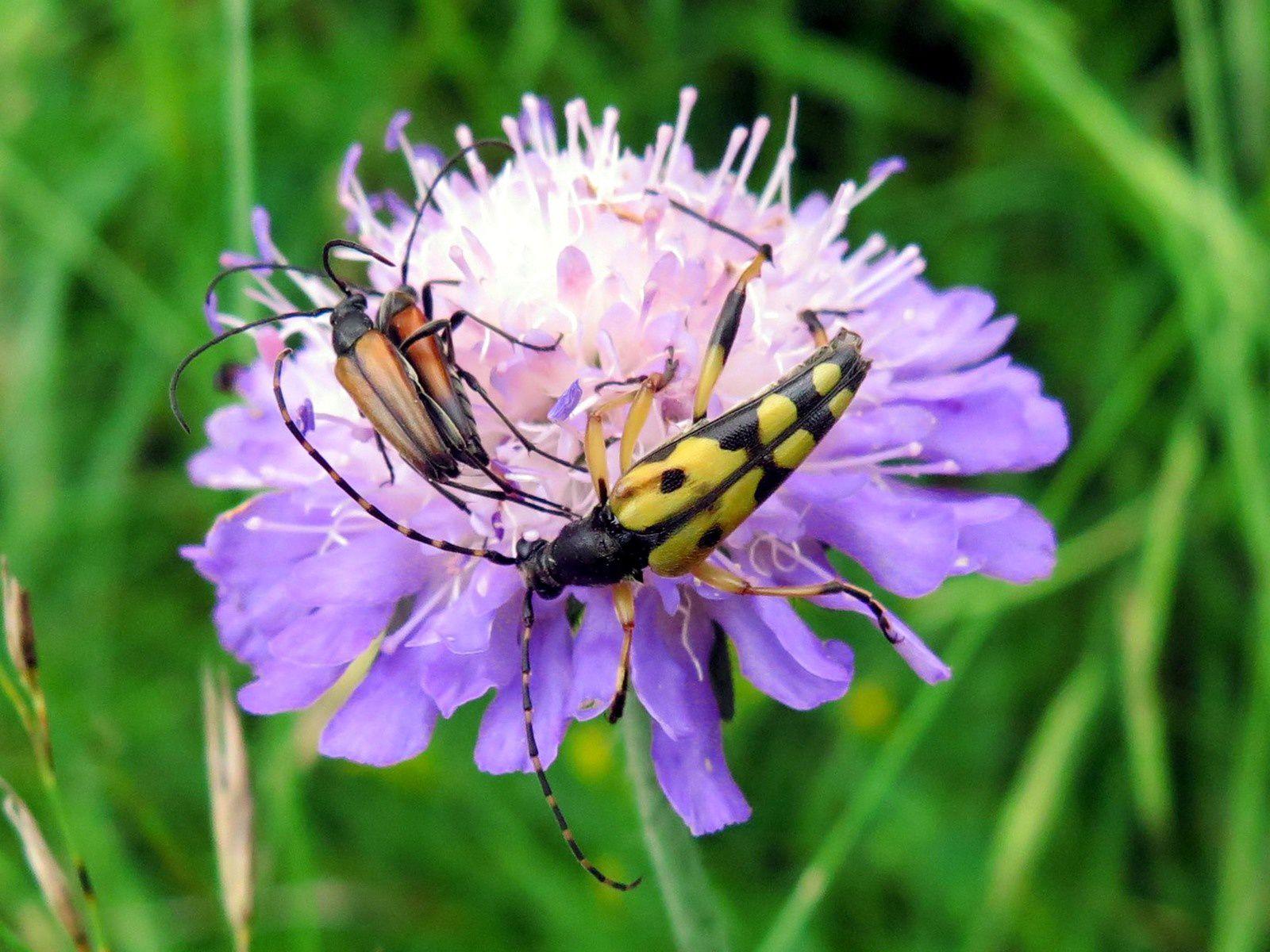 Strangalie tachetée (Rutpela maculata)