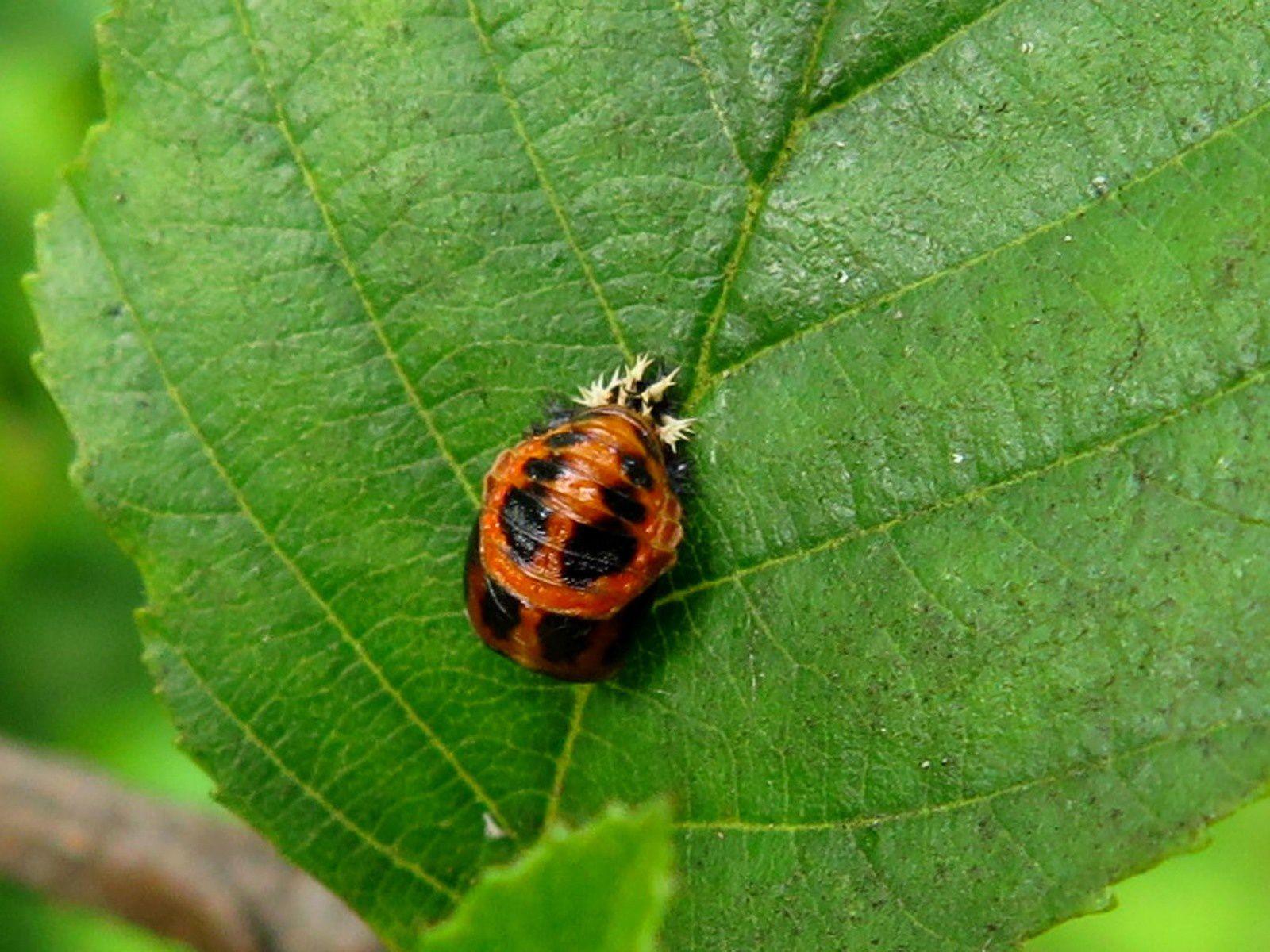 Coccinelles asiatiques, larves et nymphes (Harmonia axyridis)