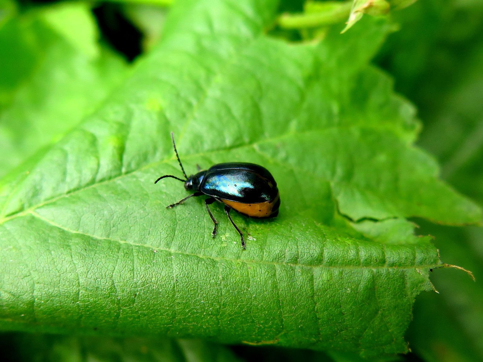 Galéruque de l'aulne et ses larves (Agelastica alni)