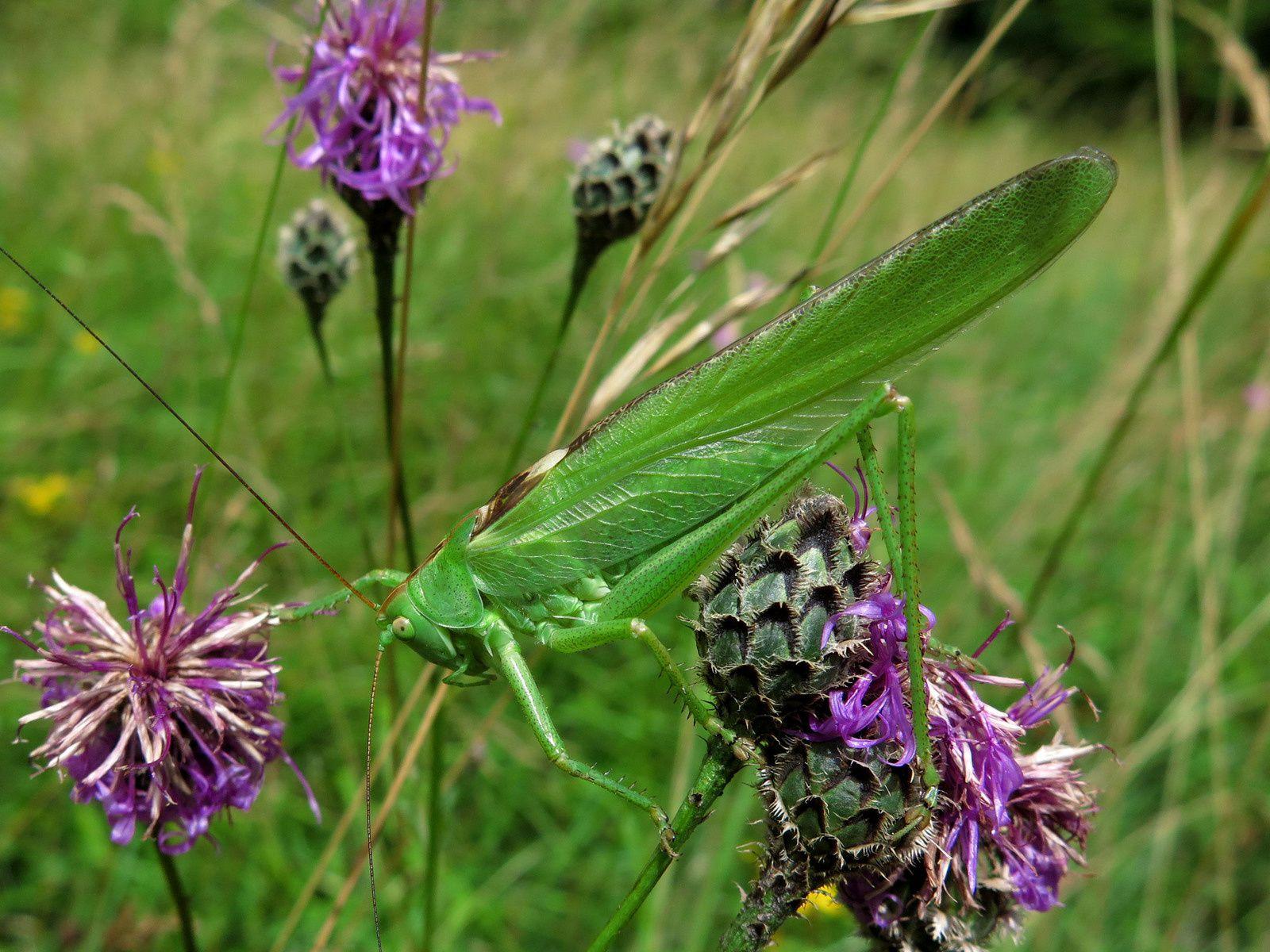 La grande sauterelle verte (Tettigonia viridissima)