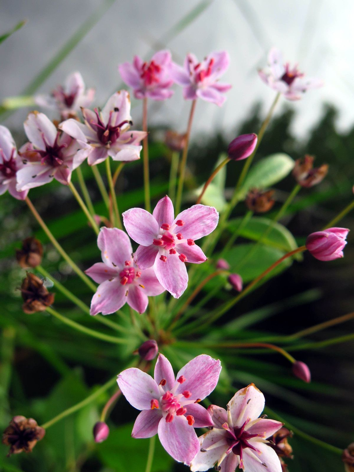 Jonc fleuri ou Butome à ombelle (Butomus umbellatus)