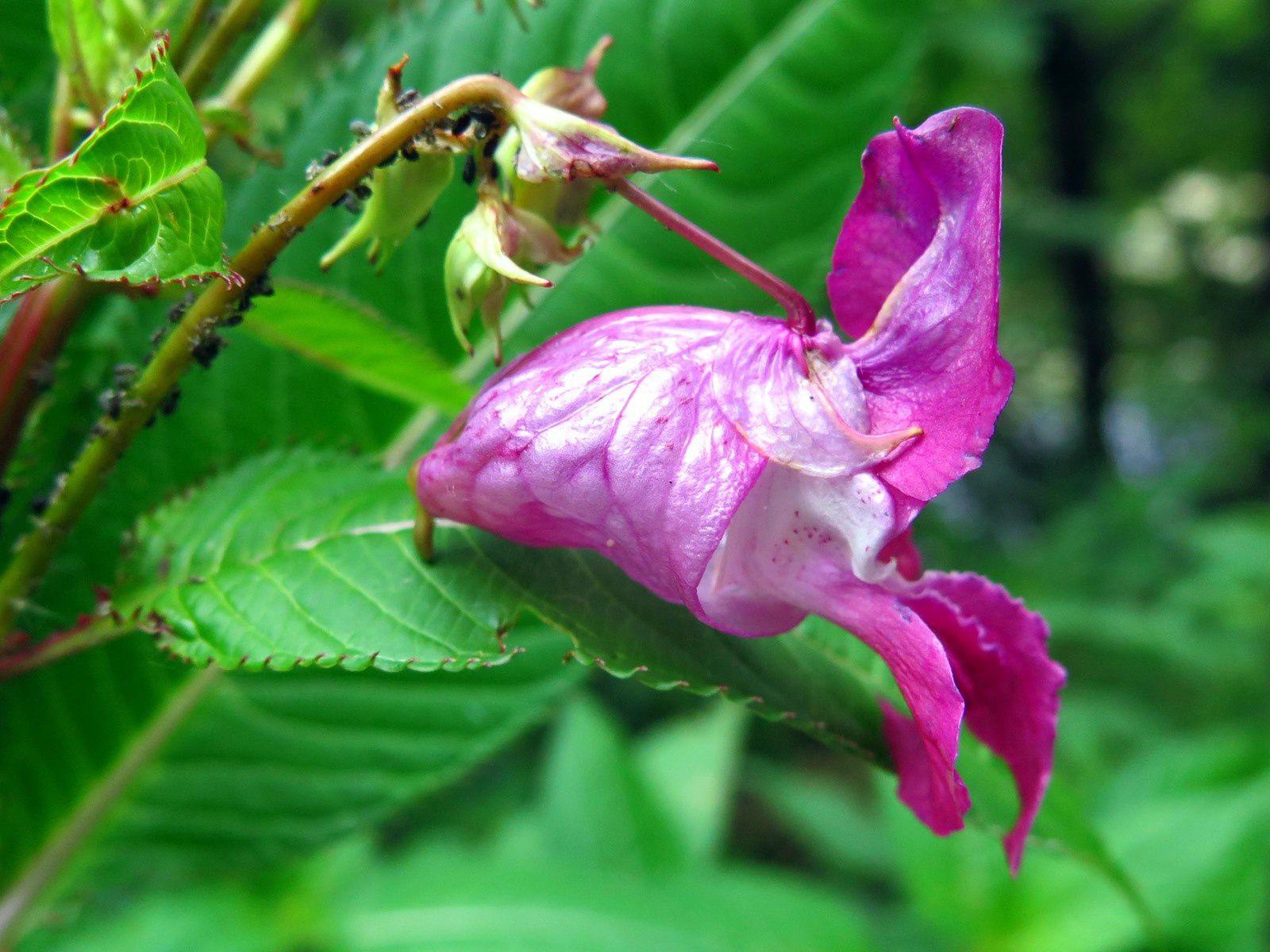 Balsamine de l' Himalaya ( Impatiens glandulifera)