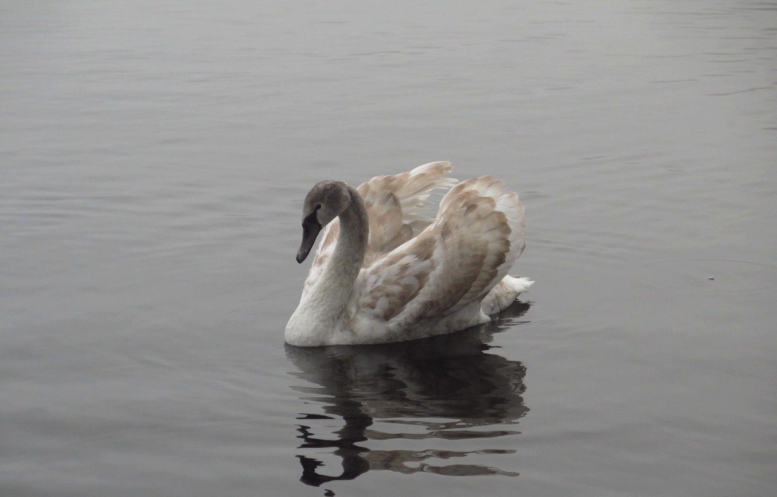 Cygnes sur l'étang embrumé